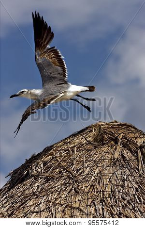 White Sea Gull Flying In Straw