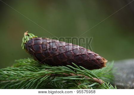 A fresh pine cone from a pine tree