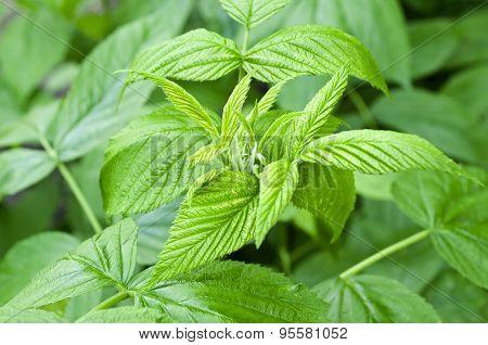 Green Raspberry Leaves