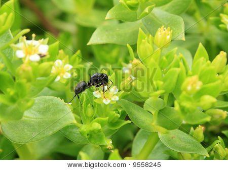 Honckenya Oblongifolia