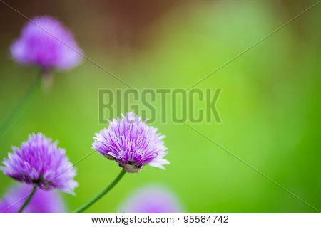 Closeup Of Blooming Allium With Blurry Background