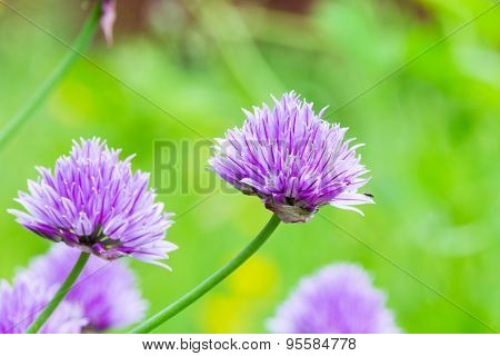 Closeup Of Blooming Allium With Blurry Green Background