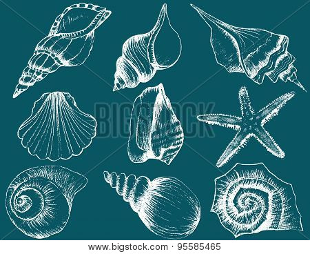 Hand Drawn Collection Of Various Seashell Illustrations