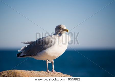 Seagull Resting On Rock By The Ocean 070