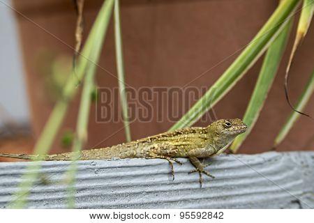 Gecko On A Board.