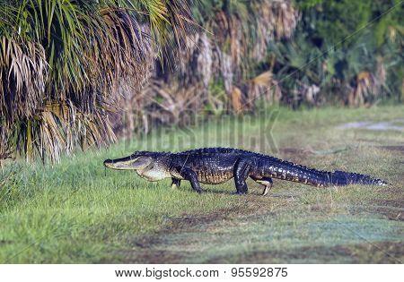 Gator Crossing.