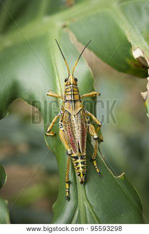 Above View Of Locust.
