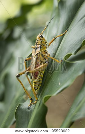 Locust On Green Leaf.