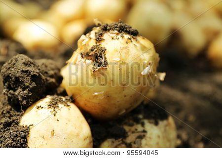 Crop of new potatoes in soil, closeup