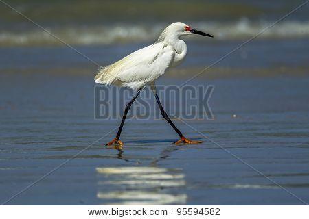 Egret Walking In Shallow Water.
