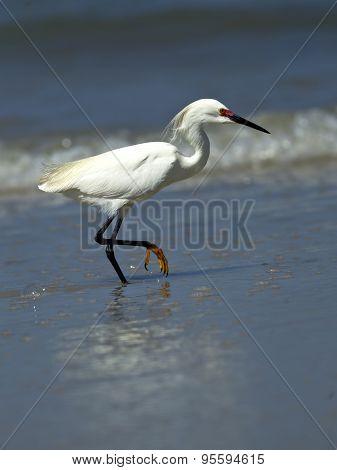 Snowy Egret Raises Leg Out Of Water.