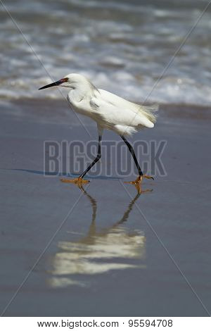 Snowy Egret Casts Reflection In Water.