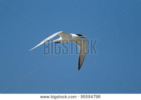 Tern Flies In Bright Sky.