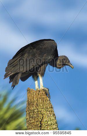 Perched Black Vulture.