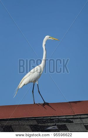 Great Egret On A Roof.
