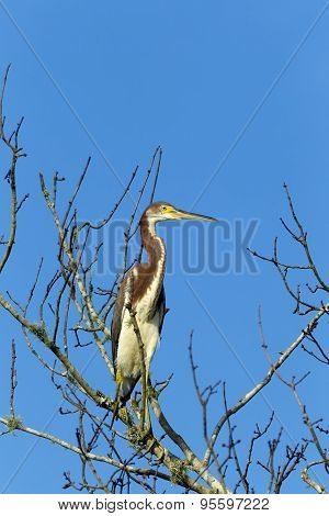 Heron In Leafless Tree.
