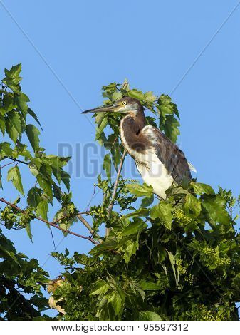 Heron Nestled In Tree.