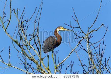 Sideview Of Tri Colored Heron.
