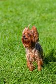 pic of yorkshire terrier  - Cute yorkshire terrier dog  sitting on green  yard - JPG