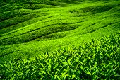 foto of cameron highland  - Tea plantation in Cameron highlands - JPG