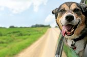 picture of blowing  - A happy German Shepherd Mix breed dog is hanging is tounge out of his mouth with his ears blowing in the wind as he sticks his head out a moving and drving car window - JPG
