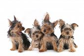 picture of yorkshire terrier  - Tiny Yorkshire Terrier Puppies Sitting on White Background   - JPG