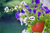 foto of flower pots  - Beautiful decorative violet and white flowers potted in hanging basket - JPG