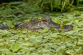 stock photo of alligators  - A close up image of an alligator in the swamp water in central Florida - JPG