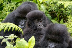 picture of gorilla  - A group of three young gorillas sitting in the Virunga National Park of Rwanda - JPG