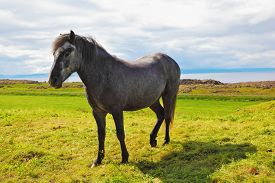 picture of iceland farm  -  Beautiful horse grazing in  meadow near the farm - JPG