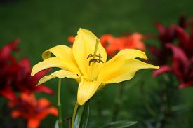 foto of asiatic lily  - Yellow Asiatic Lily with orange and red lilies in the background and a green grass backdrop. ** Note: Soft Focus at 100%, best at smaller sizes - JPG