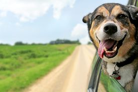image of headings  - A happy German Shepherd Mix breed dog is hanging is tounge out of his mouth with his ears blowing in the wind as he sticks his head out a moving and drving car window - JPG