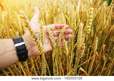 The hands of a farmer close up pour a handful of wheat grains in a wheat field.