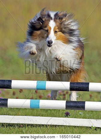Shetland Sheepdog jumping over bar obstacle on Agility trial