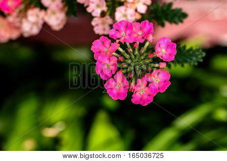 Verbena pink flower cluster during summer in Wisconsin.