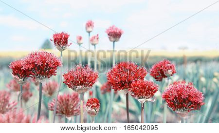 Allium Red Toned, Field Background