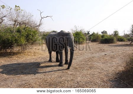 Close up of Large Elephant in African Wilderness