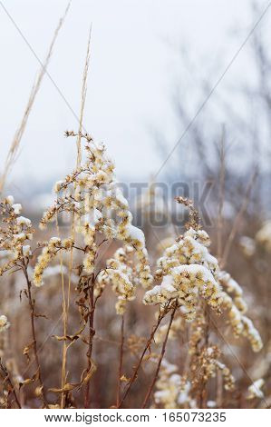 closeup of a snow covered weeds at the cold winter morning