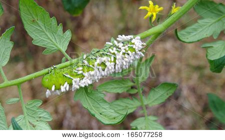 Suffering Tobacco/Tomato Horn Worm as host to parasitic braconid wasp eggs on a Tomato Plant in a vegetable garden.