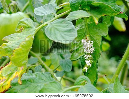 Tobacco/Tomato Horn Worm as host to parasitic braconid wasp eggs on a Tomato Plant.
