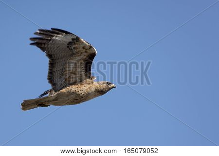 A Red-tailed Hawk wings its way home