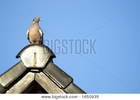 Pigeon On The Lookout