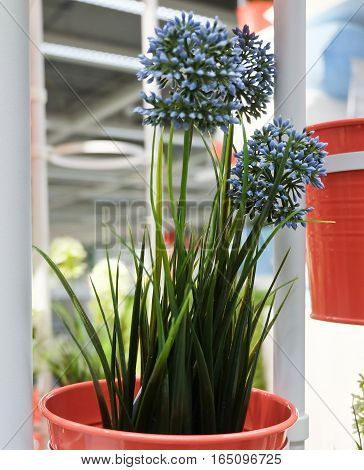 Blue Artificial Allium Giganteum Blossoms or Giant Onion Flower in Orange Metal Pots for Home and Office Decoration without The Care.