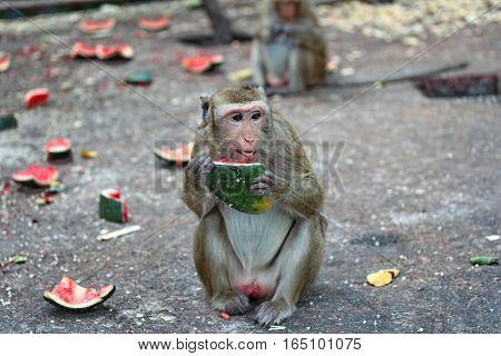 Monkey Enjoy To Be Eating Watermelon.