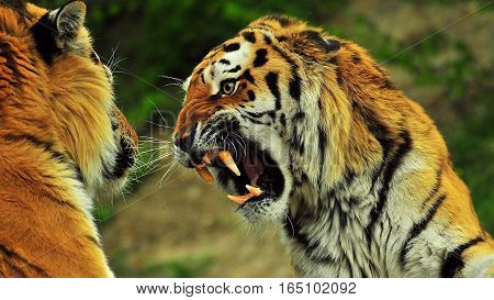 Lion vs Royal Bengal tiger fighting for existence
