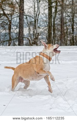 Staffordshire bull terrier in the jump on a snow