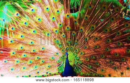proud peacock displaying the colors of his magnificent tail