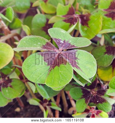 Green Oxalis, Purple Spots, Many Of The Species Are Known As Wood Sorrels, Clover Four Leaves, Close