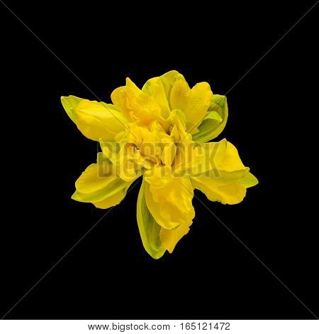Yellow Daffodil (narcissus) Flower, Close Up, Black Background.