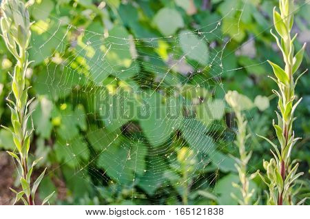 Spider Net On Two Parallel Flowers, Close Up
